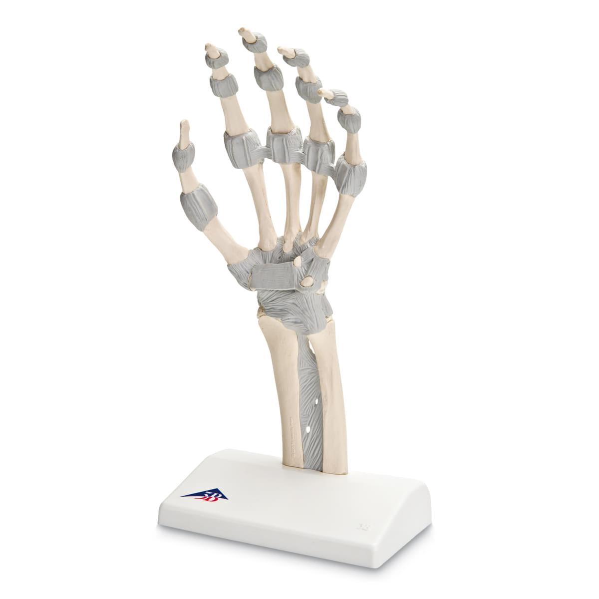 [3B] M36 손모형 손의인대 해부학적구조 모형 /Hand skeleton with elastic ligaments